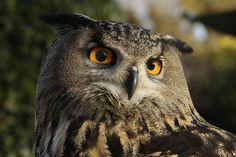 https://flic.kr/p/Jzp47T | Grand duc d'Europe #animalcontact #eagle #owl #hibou #duc