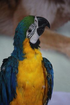 Blue and yellow parrot macaw