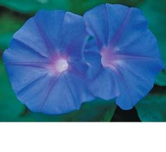 "Blue Morning Glory Flower Seeds  ""I HAVE THIS IN MY GARDEN, DOESNT BLOOM VERY MUCH THO,I HAVE THE LAVENDER ONE"