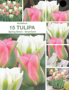 Tulpen Viridiflora Spring Green-Groenland