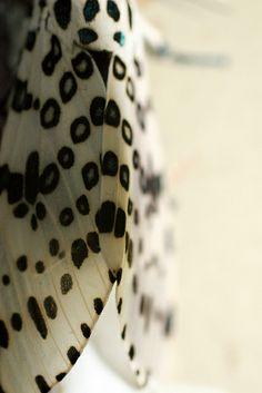 Leopard Moth Spots by Morgan Loven