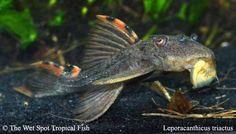 "(1) 2""+ Three Beacon Pleco L091 Leporacanth. triactis Live fresh tropical"