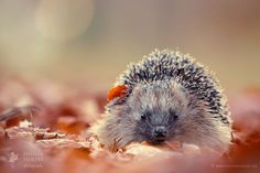 """Little Fall Friend & Tnx for the 10 M! - <a href=""""http://www.roeselienraimond.com"""">Roeselienraimond.com</a>   <a href=""""https://www.facebook.com/RoeselienRaimond"""">Facebook</a>   <a href=""""https://www.instagram.com/roeselienraimond/"""">Instagram</a> 10 M...wow...that's a lot of views, thanks for that...appreciated :D  Oh and this young hedgehog was enthusiastically plowing through the leaves, gathering food for the winter."""
