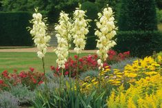 drought resistant strappy leafed yucca