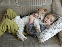 Fox-terrier — Wikipédia