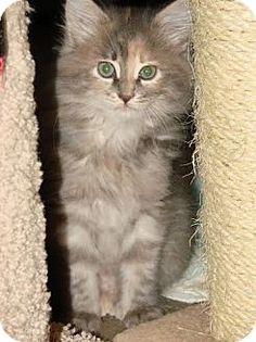 HILLSBORO, OR - Domestic Longhair. Meet Atlanta, a kitten for adoption. http://www.adoptapet.com/pet/12028780-hillsboro-oregon-kitten