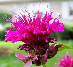 I love to plant this below bedroom windows so the amazing smell comes in. Love Garden, Dream Garden, Home And Garden, Garden Ideas, Bee Balm Flower, Deer Proof Plants, Flower Pictures, Mother Nature, Perennials
