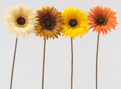 The gerbera daisy is a classic symbol of beauty, lifting people's spirit…