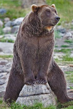 Grizzly Bear by Paul gill Sloth Bear, We Bear, Bear Cubs, Grizzly Bears, Panda Bears, Tiger Cubs, Tiger Tiger, Funny Bears, Cute Bears