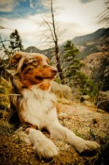 mountain dog, reminds me of Scout Blue Merle, Best Dog Breeds, Best Dogs, Australian Border Collie, American Shepherd, Most Beautiful Dogs, Aussie Dogs, Loyal Dogs, Mountain Dogs