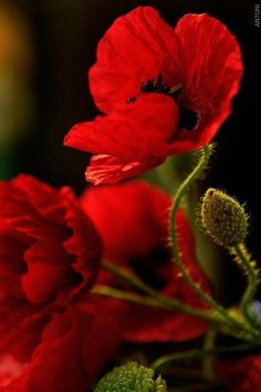 Flowers - Red Poppies - from crescentmoon's garden . Flowers - Red Poppies - from crescentmoon My Flower, Red Flowers, Beautiful Flowers, Macro Flower, Fall Flowers, Flower Ideas, Fleurs Van Gogh, Red Poppies, Planting Flowers
