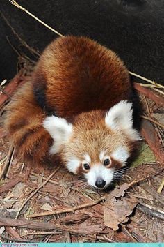 Red pandas are the cutest animals in the entire world.