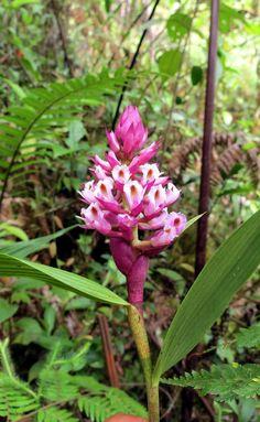 Elleanthus Glaucophyllus
