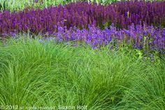 "Sporobolus heterolepis + meadow sage  ""salvia river,"" lurie garden, chicago  piet oudolf, designer"