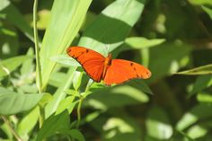 Papillon Dryas iulia