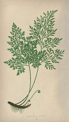 Fern, botanical illustration