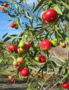 Quandong . Fruto silvestre de Australia Santalum Acuminatum