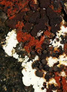 Slime Molds (Ceratiomyxa fructiculosa, Metatrichia vesparium, and Capillitium by mwprosser, via Flickr