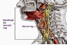 Gi liv til vagusnerven din, og få en bedre generell helse — Veien til Helse Nerf Vague, Brain Illusions, Sensory System, Peripheral Nerve, Yoga, Chakra, Nervus Vagus, Ayurveda, Coaching