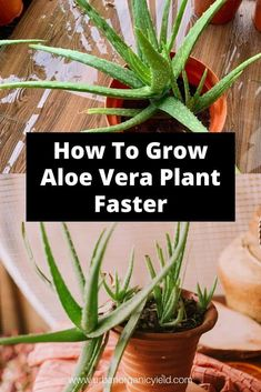 Grown at home, aloe vera can provide some tropical flair to your desktop or garden as an easy-going succulent. Aloe vera plants do grow faster outside but they can still grow beautifully inside the house. Aloe Plant Care, Aloe Vera Plant Indoor, Indoor Plants, Hanging Plants, Indoor Gardening, Gardening Tips, Growing Succulents, Growing Plants, Planting Flowers