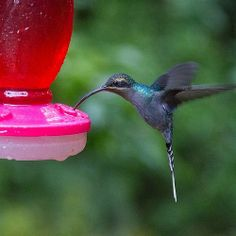 There are 51 different species of hummingbirds in Costa Rica.  30 species of which reside in #monteverde. To put that in perspective, there ...