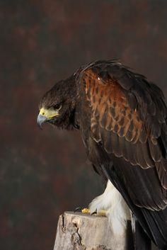 Harris Hawk.  Tim-Dennis Jael C