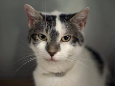 "NYC TO BE DESTROYED 8/8/14 DAISY IS A MEDIA STAR! SPECIAL PLEA! Only 1 year, 9 months! Allows handling & tolerates being picked up! Shelter said she is friendly!! ""This sweet girl was living in a basement and then brought to AC&C. Now, she's face extermination. She's young and loving. Please help her! If you can't adopt her, can you foster her until an adopter is found?"" https://www.facebook.com/nycurgentcats/photos/a.840671315950857.1073742393.220724831278845/840671335950855/?type=3&theater"