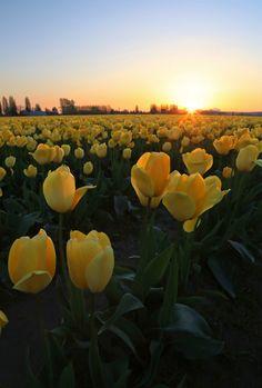 Tulip Fields, Yellow Tulips, Fresh Flowers, Planting Flowers, Sunrise, Beautiful Places, Bloom, Landscape, Garden