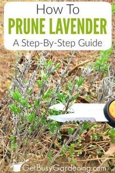 Cutting back lavender plants is important for the health of the plant. Pruning lavender helps to trigger bushy growth, and gives you tons of flowers too. Read this article to find out when to prune lavender plants, and learn exactly how to prune lavender step-by-step to avoid over pruning.