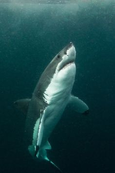Great White Shark in low visbility by Morne Hardenberg