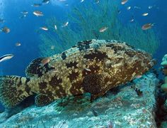 Giant Grouper #kohtao #thailand #crystaldive #travel #padi #underwater #fish #grouper #bigboy  #scuba #diving #scubadiving #underwaterphotography #bg_photography #underwater_world #just4diver #share #instatravel #wanderlust #marine #marinelife #pose