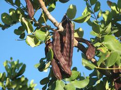 Carob – The Black Gold of Cyprus