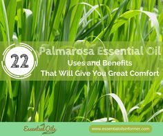 22 Palmarosa Essential Oil Uses and Benefits That Will Give You Great Comfort - Essential Oils Informer Palmarosa Essential Oil, Essential Oils 101, Young Living Essential Oils, Doterra Oils, Oil Benefits, Essentials, Skin Cream, Remedies, Herbs