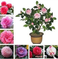 50 Pcs / Bag Camellia Seeds Potted Plants easy Planting four Seasons Diy Plant Flower Seeds for Garden bonsai tree Semente sale