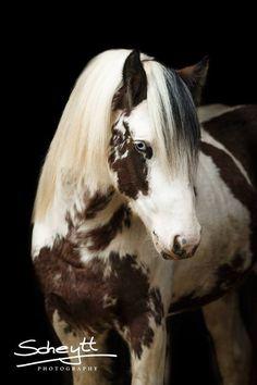 """scarlettjane22: """" Irish Cob Stallion DiePferdefotografin.de ǀ Friederike Scheytt,  Heart of a Horse """""""