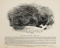 1840s Antique Animal Print Large Black & White by PaperPopinjay