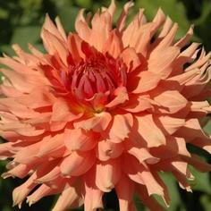 """dahlia hee haugh - 5' w/5"""" blooms"""
