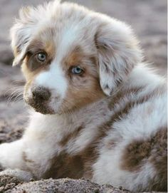 This cute teacup puppy will brighten your day. Dogs are wonderful companions. This cute teacup puppy will brighten your day. Dogs are wonderful companions. Super Cute Puppies, Really Cute Puppies, Cute Dogs And Puppies, Doggies, Australian Shepherd Puppies, Aussie Puppies, Australian Shepherds, Cute Little Animals, Cute Funny Animals