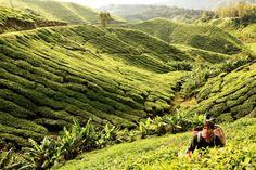 Cameron Highlands, Malaysia Tea Plantations