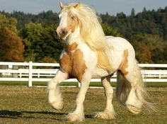 Gypsy Vanner stallion, Dragonfire, a rare palomino for the breed. photo: Jenny Grimm.
