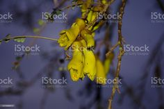 New Zealand Native (Sophora) Kowhai Bloom in Spring at Dusk New Zealand's Native Kowhai Tree in Bloom in Springtime at Dusk. Kōwhai are small woody legume trees within the genus Sophora that are native to New Zealand. Abstract Stock Photo Spring Images, Golden Flower, Photo Composition, Video Image, Abstract Images, Feature Film, Photo Illustration, Image Now, Woody
