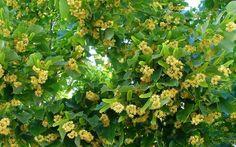 Una pianta dalle molte proprietà: il Tiglio #tiglio #pianta #erbario