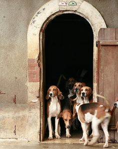 Chateau Cheverny dogs are part English Foxhound and part French Poitou. Their mealtime at 1700hrs is quite a spectacle!