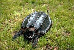 aligator snapping turtle