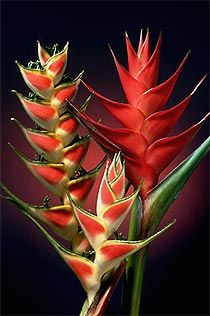 Picture of tropical flowers - Heliconias