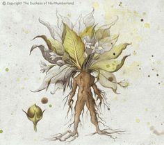 Mandrake - The Poison Diaries, written by Jane, the Duchess of Northumberland