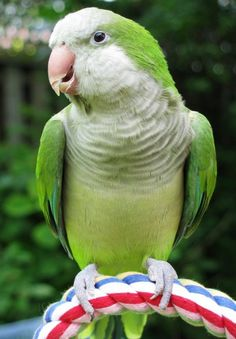 Quaker parrot-  they are called Quaker Parakeets, but really a small parrot - so sweet.