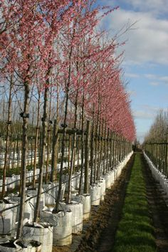 Prunus okame nursery - very pretty cherry.  Great garden and bee friendly tree.  Mature height 5-7 metres.
