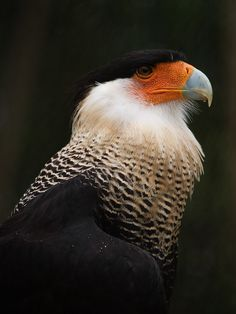 Crested Caracara III by secondclaw on DeviantArt