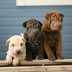 Shar Pei puppy cuteness. Normally I don't care for this breed, no offense. But these three are adorable :)